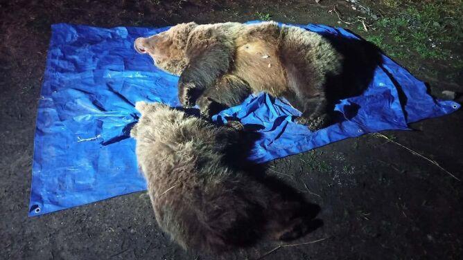 Zastrzelili niedźwiedzicę z młodym w słowackich Tatrach. Zwierzęta podchodziły pod hotel