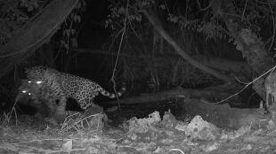 Jaguar atakuje ocelota. Rzadkie nagranie